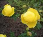 レモンクイーン 2.jpg